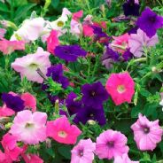 Petunia Mulitflora Crown mix F2 - Appx 1800 seeds
